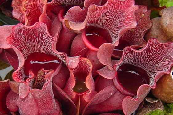 photo of a red pitcher plant